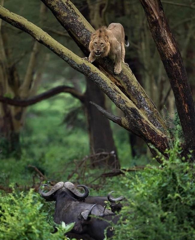 Стадо буйволов загнало льва на дерево - «Хорошее настроение»