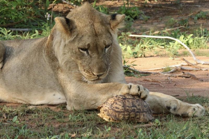 Молодой лев поймал черепаху, но съесть не смог - «Хорошее настроение»