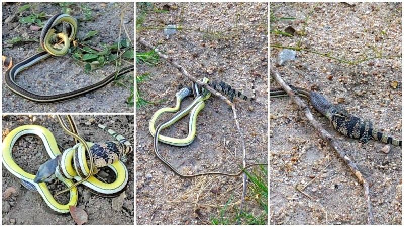 Смертельная схватка ящерицы и змеи - «Хорошее настроение»