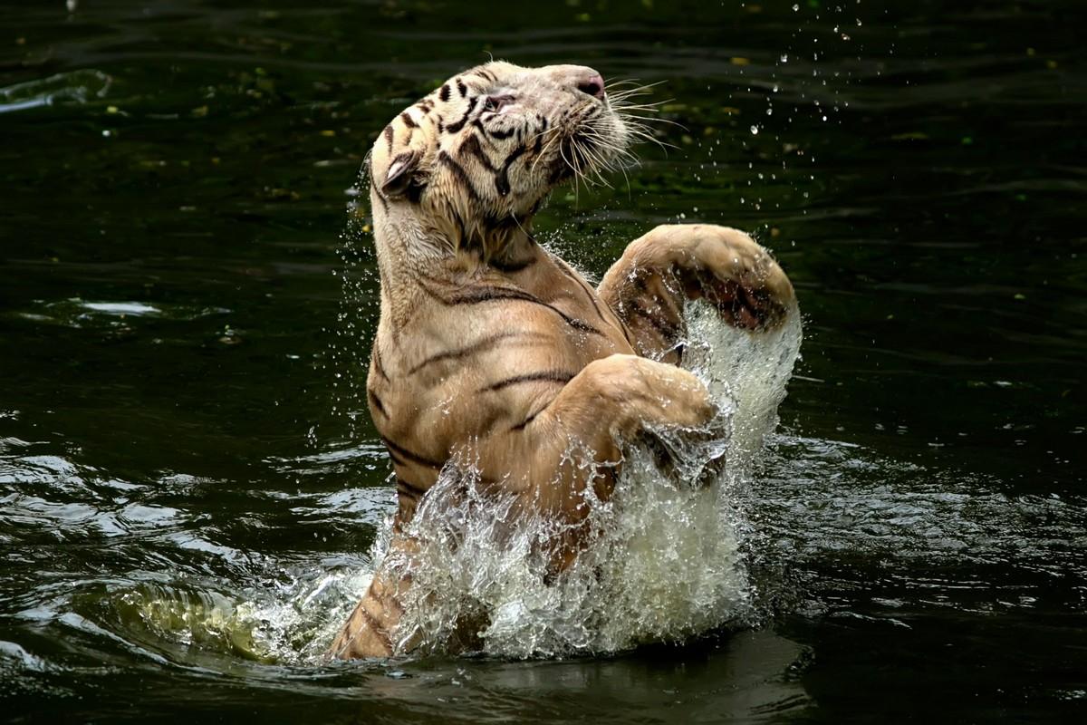 Интересные кадры: тигр плещется в воде - «Хорошее настроение»
