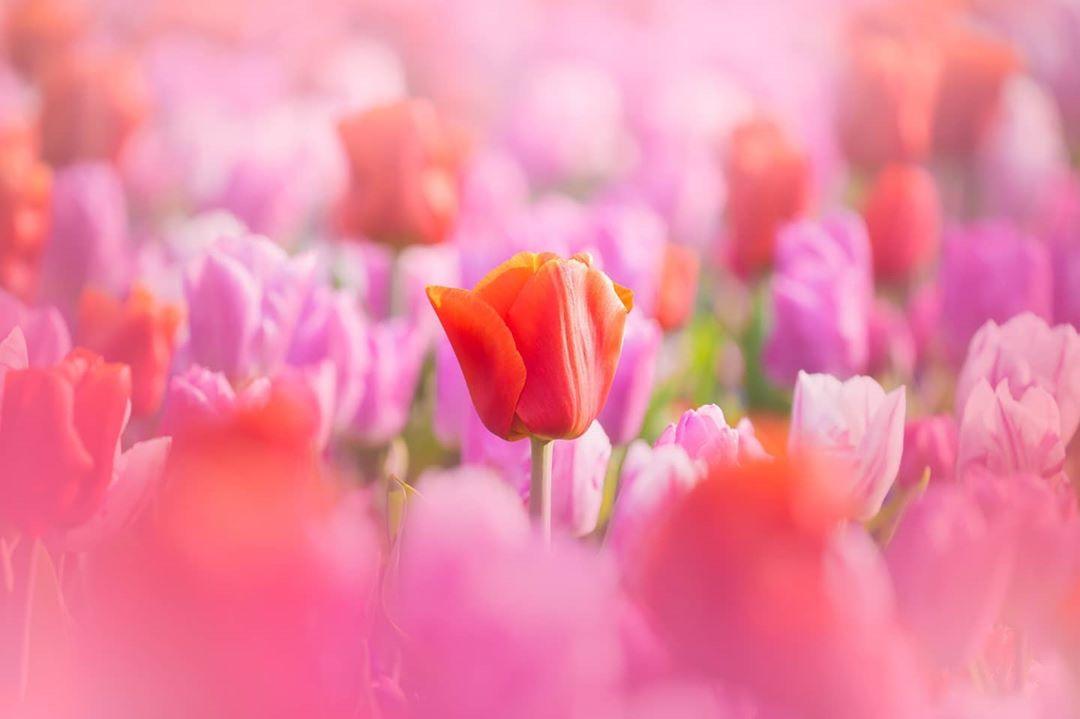 Виртуальное путешествие в нидерландский парк цветов Кёкенхоф - «Хорошее настроение»