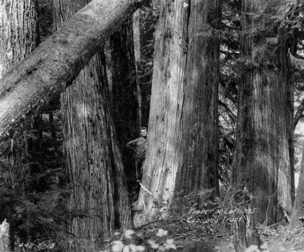 Лесорубы, вырубившие гигантские деревья Британской Колумбии, 1900-1930 гг - «Хорошее настроение»