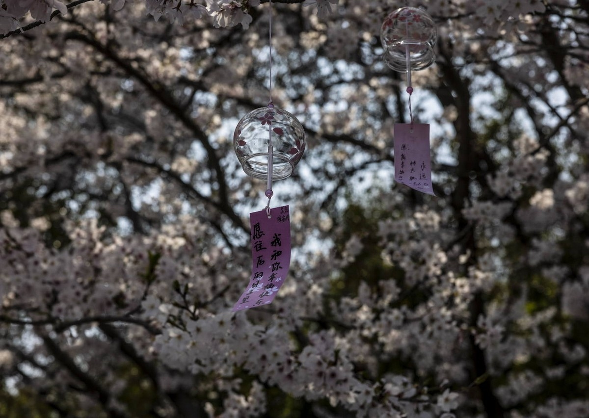 Фестиваль цветения сакуры в Китае - «Хорошее настроение»