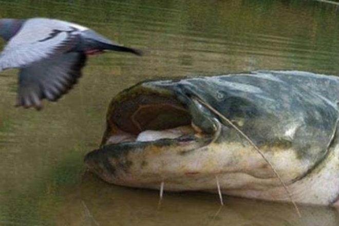 Как охотятся сомы из-под воды - «Фото»