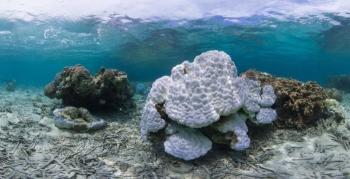 Из-за потепления воды на Окинаве обесцвечиваются и гибнут кораллы (8 фото) - «Хорошее настроение»