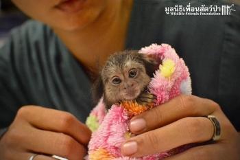 Макс – обезьянка, которой очень повезло попасть в любящие руки ! - «Фото»