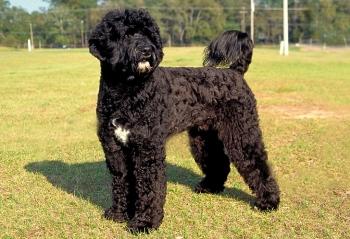 10 самых дорогих пород собак ! - «Фото»