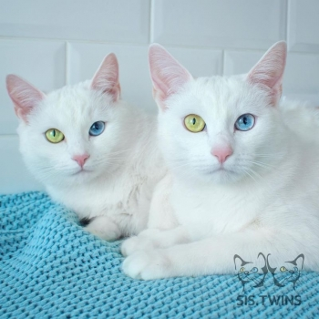 Белоснежные кошки-близнецы с разными глазами - «Хорошее настроение»