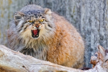 Кот загрыз троих грабителей из Озерска (2фото)