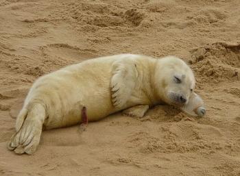 Ничего необычного, просто детеныш тюленя сладко спит на бутылке (2фото)