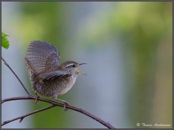 Томас Андерссон снимает красивых птиц Швеции - «Хорошее настроение»