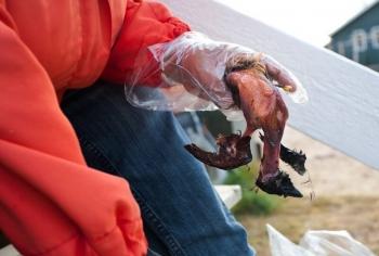 Для чего эскимосы едят протухший жир тюленя и сырое сало кита (4фото)