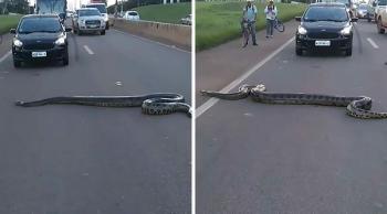 В Бразилии случайные люди объединились, чтобы помочь анаконде пересечь проезжую часть (5фото+1видео)