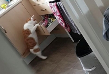 """Кот научился открывать ящик с лакомствами и теперь бесцеремонно """"угощается"""" (4фото+1видео)"""