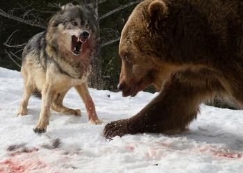 Турист стал свидетелем кровавой схватки гризли со стаей волков (8фото)