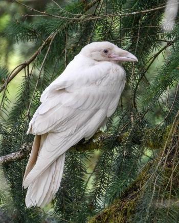 Белоснежная красота подборка удивительных животных-альбиносов - «Хорошее настроение»