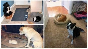 Как выглядит игра в царя горы между собаками и кошками - «Хорошее настроение»