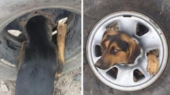 Бездомный пес застрял в автомобильном колесе (5фото+1видео)