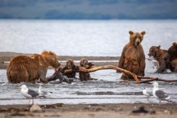 Агрессивный самец решил напасть на медвежат, и на защиту встала их мать - «Хорошее настроение»