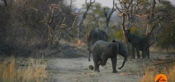 Этот маленький слонёнок показывает, что он умеет обращаться с «мячом» не хуже Роналду (3фото+1видео)