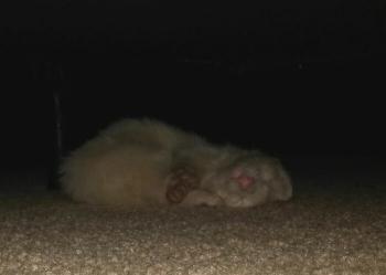 Поел собачьего корма и уснул: в дом девушки пробрался незваный хорек (9фото)