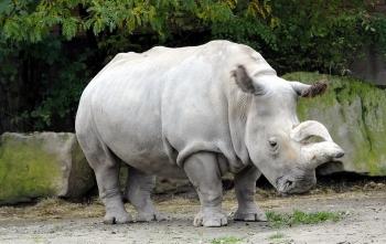 Когда животное начинает считаться вымершим?