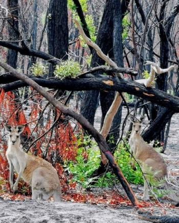 Австралийская природа восстанавливается после пожаров (20 фото)