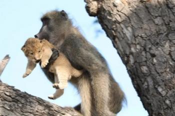 """Сцена из мультфильма """"Король лев"""" в реальной жизни (6 фото)"""